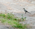 piedwagtail